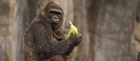 Les singes à l'origine des quatre variantes du sida | Risques au Laboratoire | Scoop.it