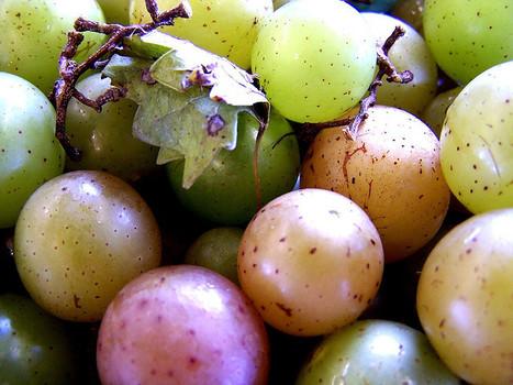 What are Muscadine Grape Skin Benefits? | Muscadinex Longevity | Scoop.it