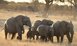 Another 22 elephants poisoned with cyanide in Zimbabwe reserve | Upsetment | Scoop.it