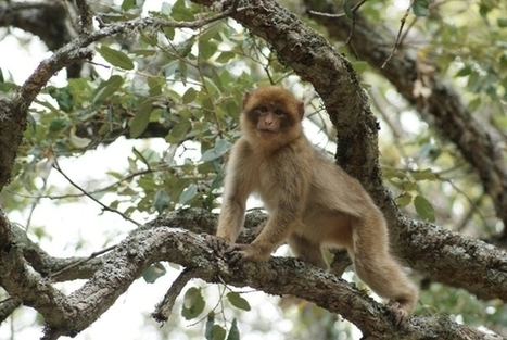 Saving Morocco's macaques: More than just monkey business | Endangered Species News | Scoop.it