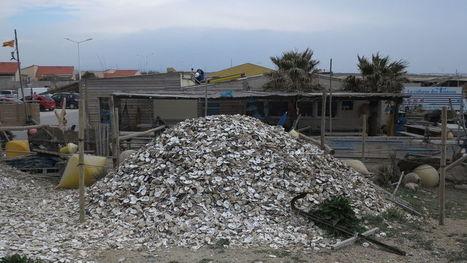 Des coquilles d'huîtres de Leucate pour sauver les oiseaux | Biodiversité | Scoop.it