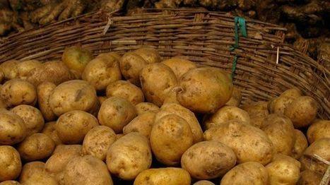 Minder aardappelen verwerkt in 2013 in België   kap-BoetsA   Scoop.it