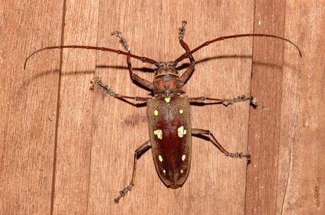 Mango longhorn beetle (Batocera rubus) - basic data | Almanac Pests | Scoop.it