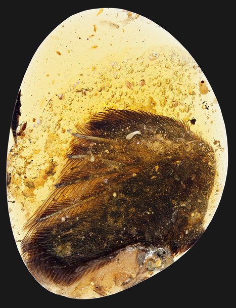 Rare Dinosaur-Era Bird Wings Found Trapped in Amber | Biodiversity protection | Scoop.it
