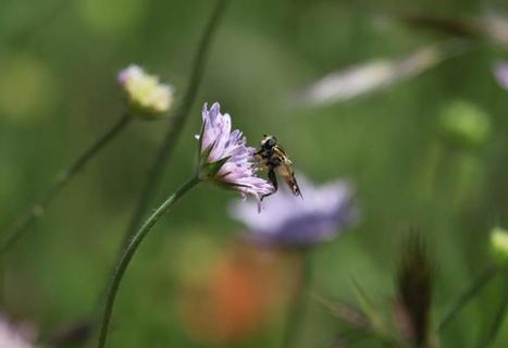 La Scabieuse - fleur d'été pour toit végétal | Toitures végétales & Biodiversité urbaine | Scoop.it