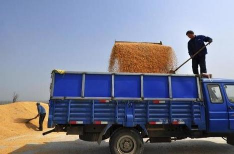 As stocks soar, China says to reduce corn acreage in 2016 | MAIZE | Scoop.it
