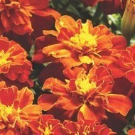 Flower seeds online purchase india, Flowers seeds online in India | Buy flower seeds online, Flower seeds online, Garden seeds, Flower seeds, Herb seeds | Scoop.it