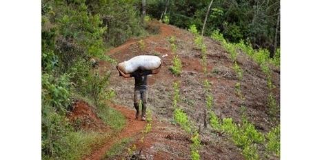 Colombie/drogue: les Farc proposent de légaliser production et vente de cultures illégales | Toxicomanie | Scoop.it