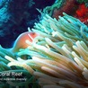 cup coral at thereefs.org