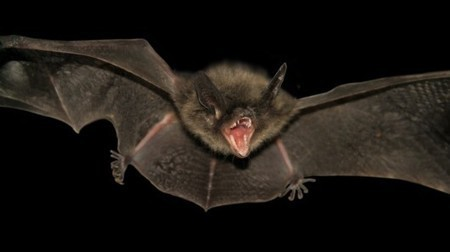 Understanding bat evolution could lead to new treatments for viruses and aging | Longevity science | Scoop.it