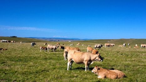 Investir dans une vache est devenu un placement juteux | Dairy farming and industry | Scoop.it