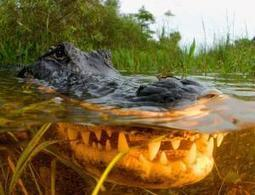 Germ-killing molecules identified in alligator blood | Science, Technology, and Current Futurism | Scoop.it