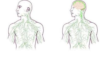 Researchers Find Missing Link Between the Brain and Immune System | Learning & Mind & Brain | Scoop.it