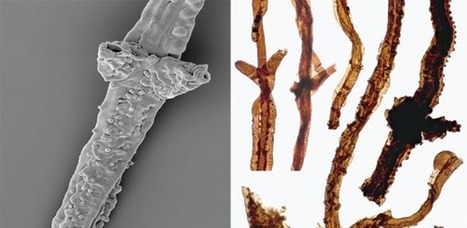 The oldest known land-dweller is a type of fungus | Amazing Science | Scoop.it