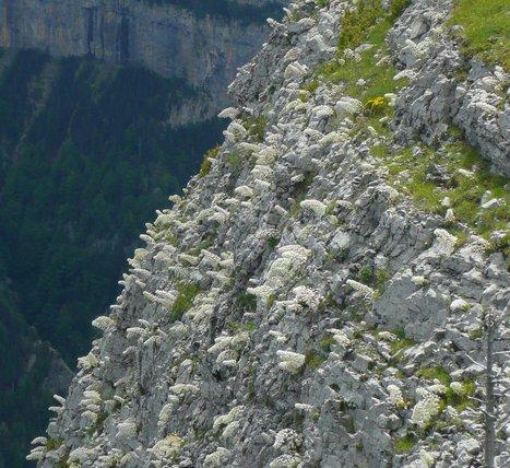 Colonie de saxifrages longifolia au Mondoto - Photo Simone Fréchou | Vallée d'Aure - Pyrénées | Scoop.it
