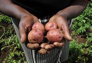 New Agriculturist: News brief - Tomato-potato cross benefits farmers | The Agrobiodiversity Grapevine | Scoop.it
