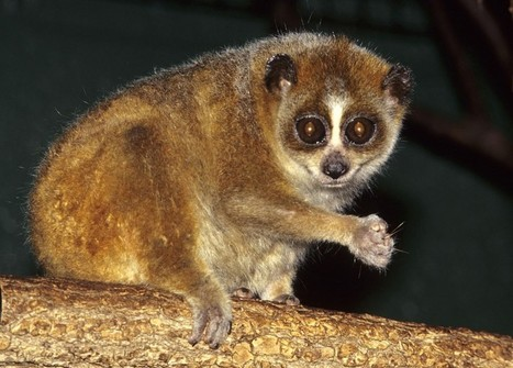 Pygmy slow loris is first known hibernating primate outside of Madagascar, study says | World Environment Nature News | Scoop.it