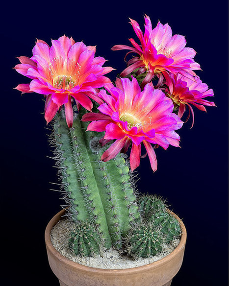 Watching These Cactus Flowers Bloom Is Completely Mesmerizing   enjoy yourself   Scoop.it