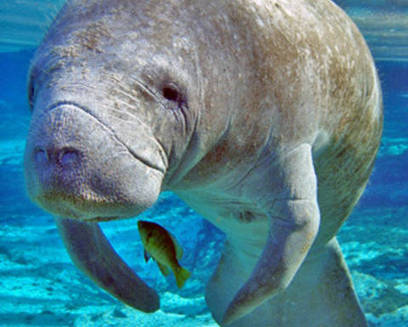 Record #Manatee #deaths #connected to #sewage #pollution #foodScarcity | Rescue our Ocean's & it's species from Man's Pollution! | Scoop.it