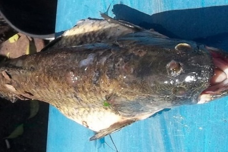 Un poisson à trois yeux découvert près d'une centrale nucléaire en Argentine | The simpsons | Scoop.it