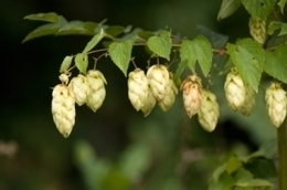 Dry Hopping for Beer Revisited – Part 1 of 2 | Home Brewing Beer Blog | Pubs and real ale | Scoop.it
