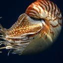 Surviving 500 Million Years and Disappearing in the Blink of an Eye: The Story of the Chambered Nautilus | ocngirl | Scoop.it