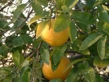 Citrus concerns this Thanksgiving | CALS in the News | Scoop.it