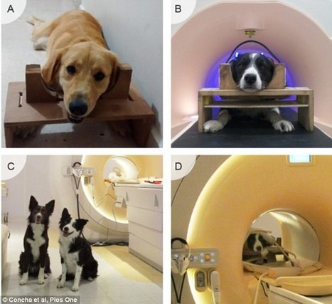 Scans show area of a dog's brain that 'lights up' when it sees a face | Higher Education Research | Scoop.it