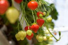 Fresa - Koppert control biologico y polinización   strawberry   Scoop.it