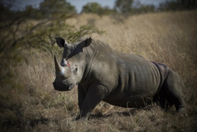 Legalising rhino horn not the answer | What's Happening to Africa's Rhino? | Scoop.it