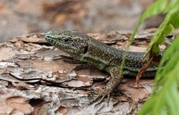 Why would the lizard's tail grow back, but not a leg? | onlinepetanswers | Scoop.it