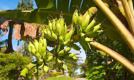 Feeding Africa: why biotechnology sceptics are wrong to dismiss GM | GM Rhetoric | Scoop.it