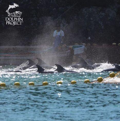 Pourquoi les dauphins ne se défendent-ils pas ?   Surprenante vie sous-marine   Scoop.it