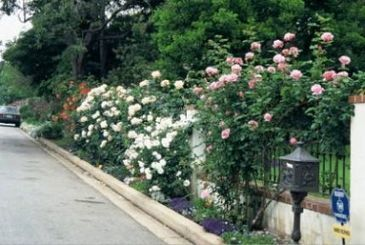 Got Young Climbing Roses? Let em Grow! - Fine Gardening | Rose gardening for everyone | Scoop.it
