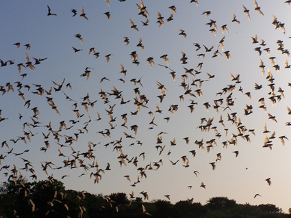 Of Bats and Men - Can We Save Bats From Extinction? | Biodiversity IS Life  – #Conservation #Ecosystems #Wildlife #Rivers #Forests #Environment | Scoop.it