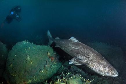 Rencontre exceptionnelle avec le requin du Groenland - Magazine GoodPlanet | bubulles | Scoop.it
