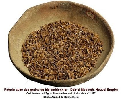 Les céréales fondatrices de l'agriculture en Égypte et dans le Croissant fertile   Égypt-actus   Scoop.it
