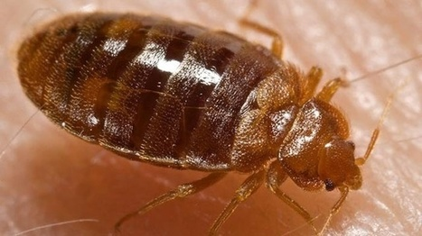 Bedbugs are drawn to certain colors, study finds | CALS in the News | Scoop.it