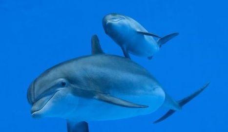 Le premier mot émis par un traducteur de dauphin   Les Mots et les Langues   Scoop.it