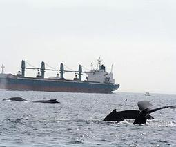 New Study Analyzes the Risk to Endangered Whales from Ship Traffic off Southern California | Sustain Our Earth | Scoop.it