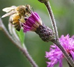 A look at the economic impact of honeybees - Triangle Business Journal | Research from the NC Agricultural Research Service | Scoop.it