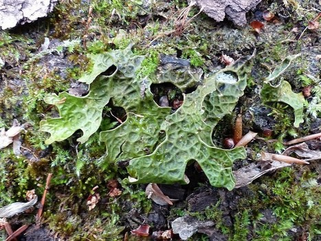 Photo de Lobariaceae : Lichen pulmonaire - Lobaire pulmonaire - Lobaria pulmonaria - Common lungwort lichen | Faaxaal Forum Photos gratuite Faune et Flore | Scoop.it