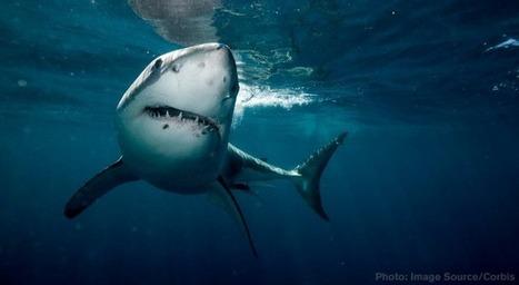 In Australia, sharks now tweet when they approach the beach | Net | Scoop.it
