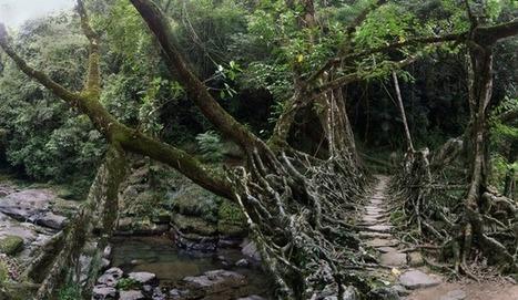 Root Bridges - Eco Construction in India   Bridges of the World   Scoop.it