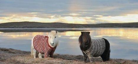 VIDEO. Ecosse : ces poneys en pull font craquer le web | Nov@ | Scoop.it