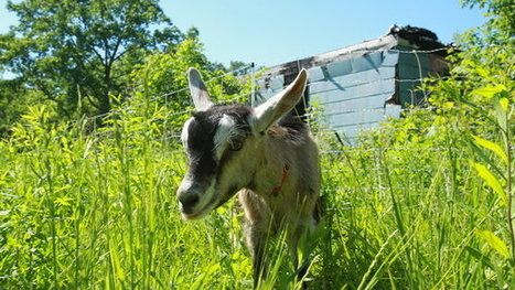 Fund Manager Sets Goats Grazing in Blighted Detroit | Organic Farming | Scoop.it
