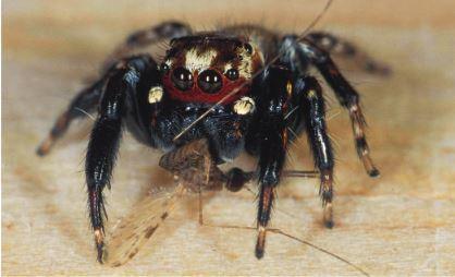 Des araignées pour lutter contre le paludisme | EntomoNews | Scoop.it