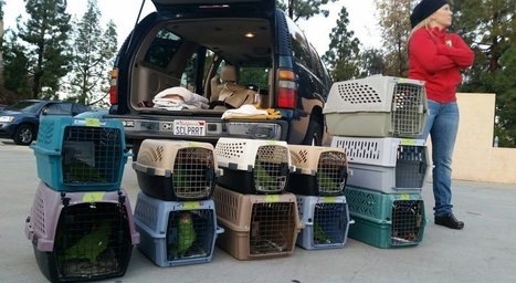 Healthy parrots released back into the wilds of El Cajon | All Things Zygodactyl | Scoop.it