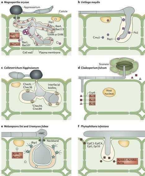 Nature Reviews Microbiology: Filamentous plant pathogen effectors in action (2013) | Plant Pathology (Plant Diseases) | Scoop.it