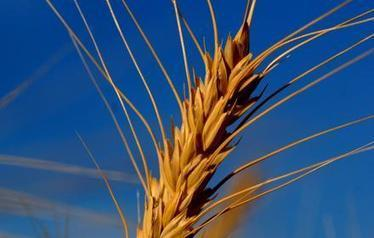 The world's got a wheat problem   Grain du Coteau : News ( corn maize ethanol DDG soybean soymeal wheat livestock beef pigs canadian dollar)   Scoop.it